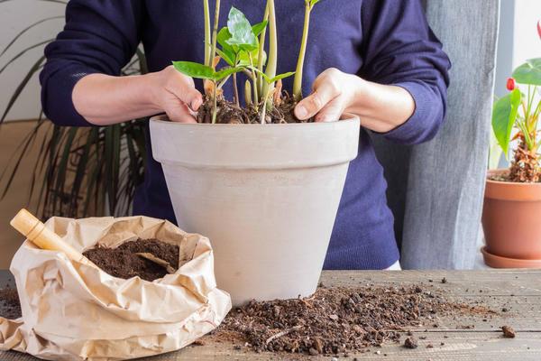 При пересадке растение нельзя сильно заглублять