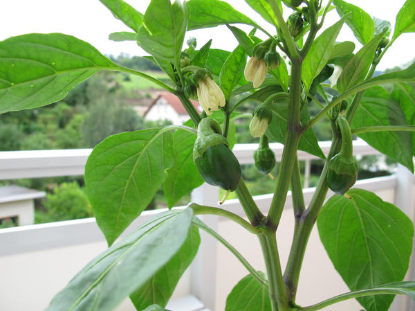 Чтобы вырастить томаты, перцы и баклажаны в домашних условиях, ученая степень не нужна