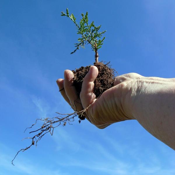 Рассадить укоренившиеся черенки можно через 1-1,5 года