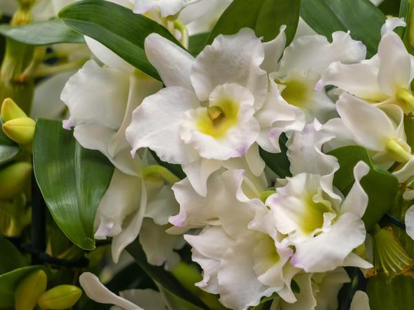 Дендробиум нобиле (Dendrobium nobile)