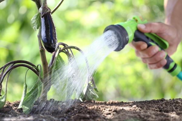 Не растут баклажаны? Вот что надо знать о выращивании синеньких