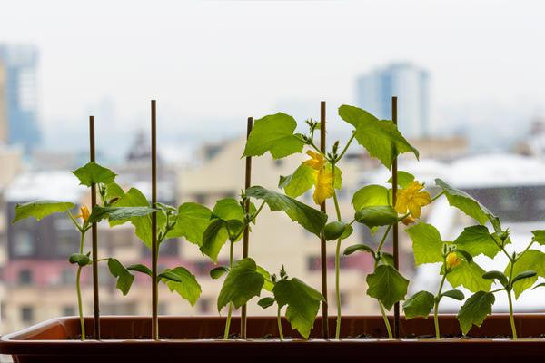 Не стоит выращивать в одном контейнере больше одного растения