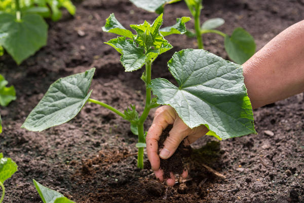 Мульчирование и рыхление почвы препятствует образованию корки на ее поверхности