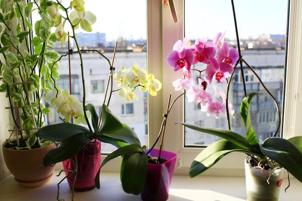 Чтобы орхидеи зацвели, приходится прибегать к разным ухищрениям