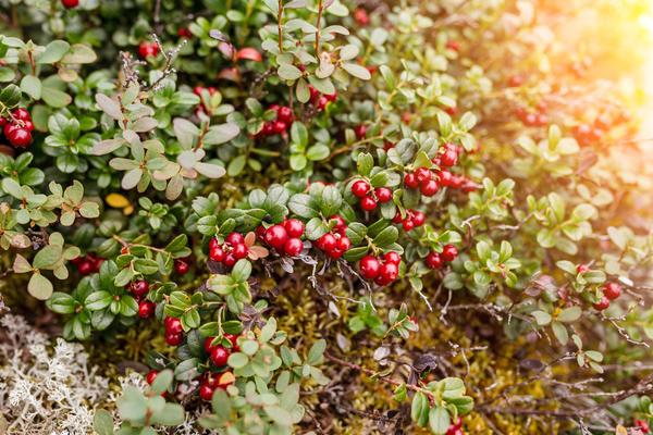 Брусника и мох, растущие на вашем участке, сигнализируют о том, что почва кислая