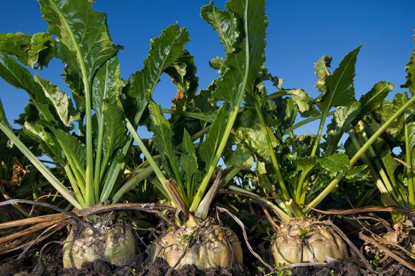 Сахарная свекла хорошо растет на нейтральных почвах