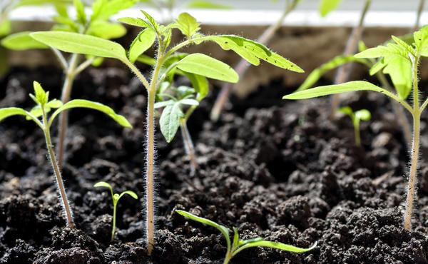 Проведите посев семян томатов за 70 дней до высадки на постоянное место