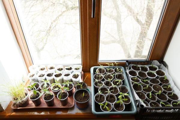 Вырастить свою рассаду сможет каждый