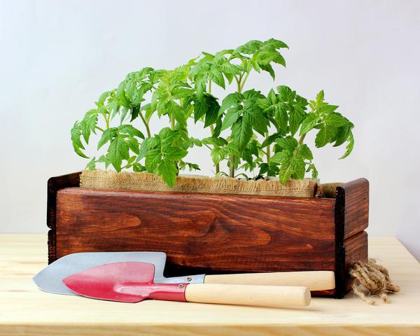 Выращивание томатов - захватывающий процесс