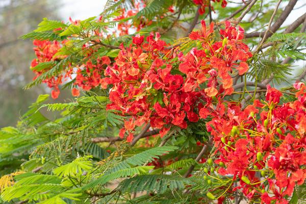 Делоникс царский - одно из красивейших деревьев мира