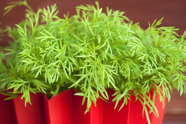 Укроп очень востребованная зелень