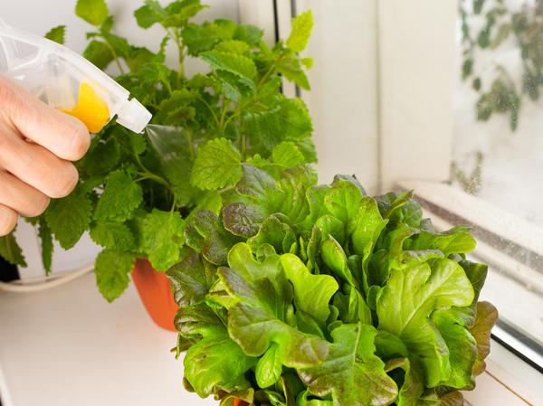 Для выращивания на подоконнике выбирайте листовые салаты