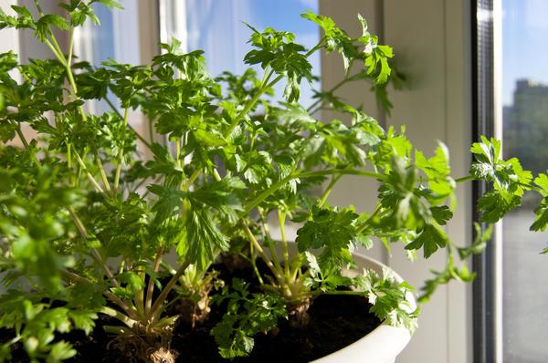 Если посадить корнеплоды, то получить свежую зелень можно уже через месяц