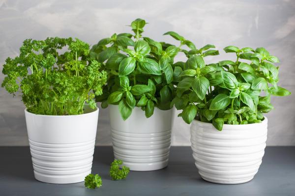 Зеленные культуры на подоконнике вырастить проще всего
