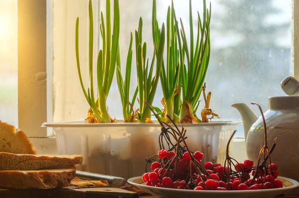 Зеленый лук вырастить проще всего