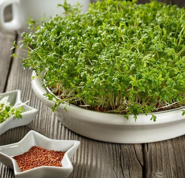 Как выращивать микрозелень?