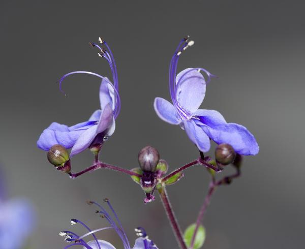 Цветки клеродендрума очень похожи на бабочек