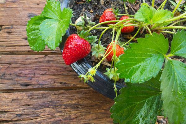 Землянику садовую можно вырастить в горшке на подоконнике