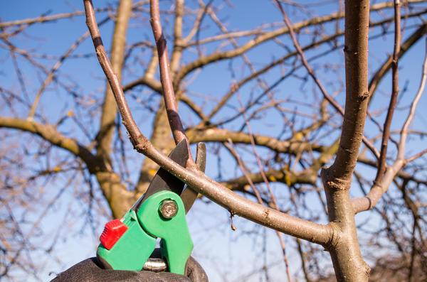 Как обрезать плодоносящие яблони и груши