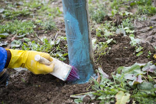 Обработка фруктовых деревьев бордоской жидкостью