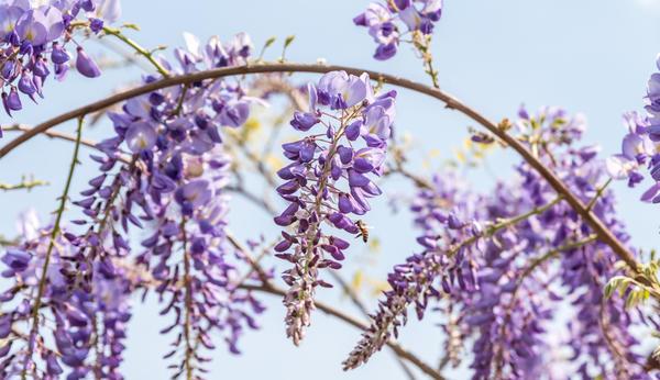 Глициния китайская (Wisteria sinensis)