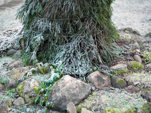Традиционно лапником укрывают растения на зиму