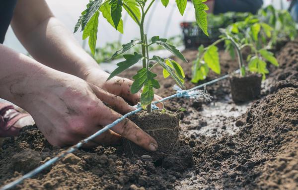 В середине мая высадите рассаду томатов