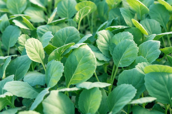 В конце мая пересадите рассаду капусты из теплицы в открытый грунт