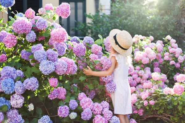 Гортензия — цветущий хит летнего сада