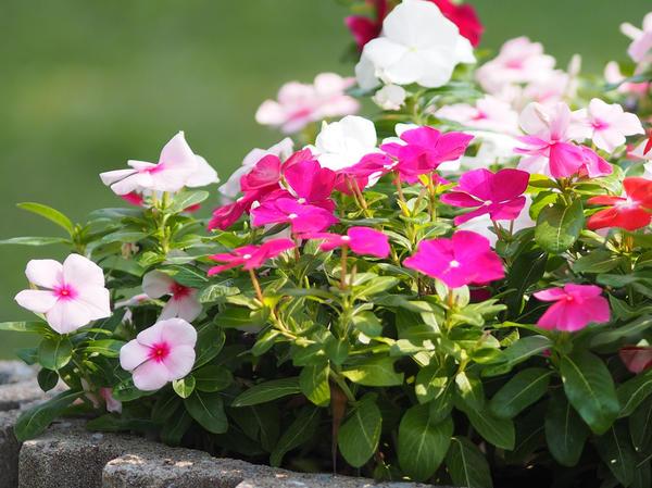 10 растений, которые цветут все лето, до морозов