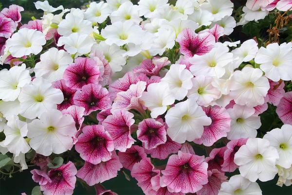Пышное цветение петунии