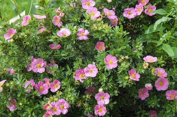 Лапчатка кустарниковая с розовыми цветками