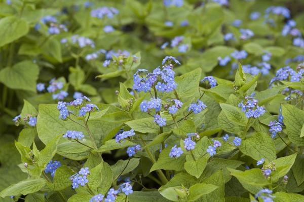 Цветущая бруннера окутывает цветники воздушной голубой дымкой