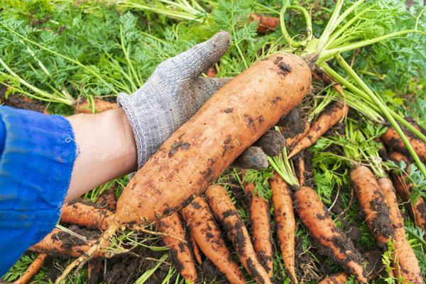 Вырастить крупную и сладкую морковку несложно, если знать несколько секретов