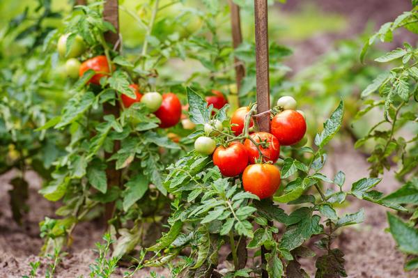 Чудесный урожай томатов