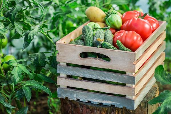 Урожай овощей всем на зависть