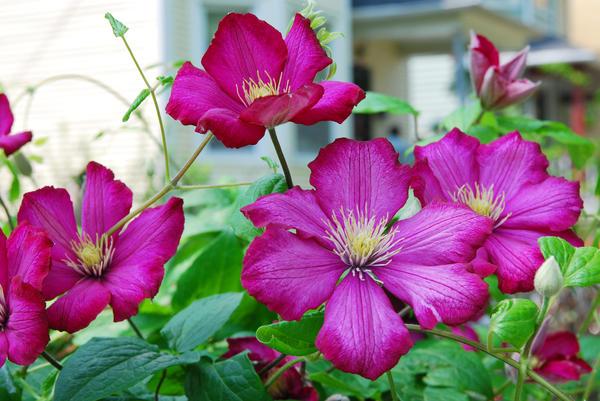 Клематис — лучшее растение для украшения арок, пергол и других вертикальных конструкций