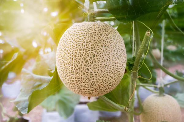 Дыни и арбузы хорошо растут и в средней полосе – в теплице или под пленочным укрытием