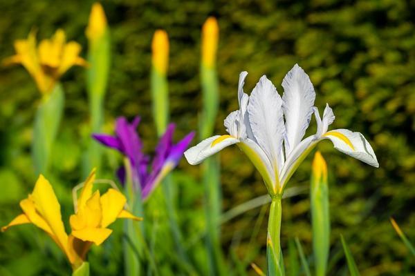 Ирисы спуриа удивительно красивы