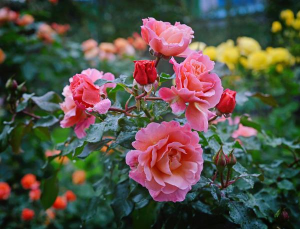 Уход за розами в августе