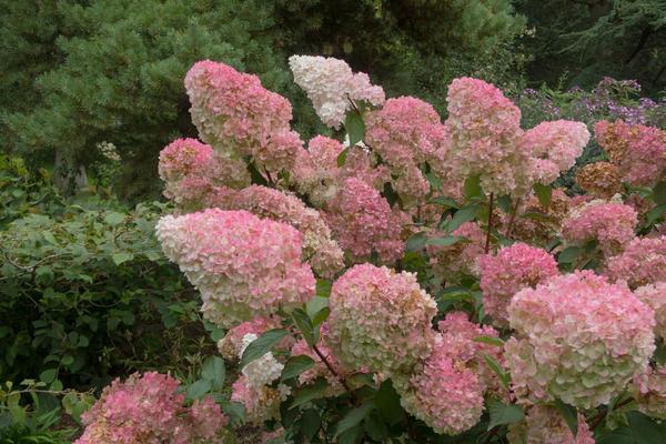 Гортензия метельчатая украшает наши сады с середины лета до осени