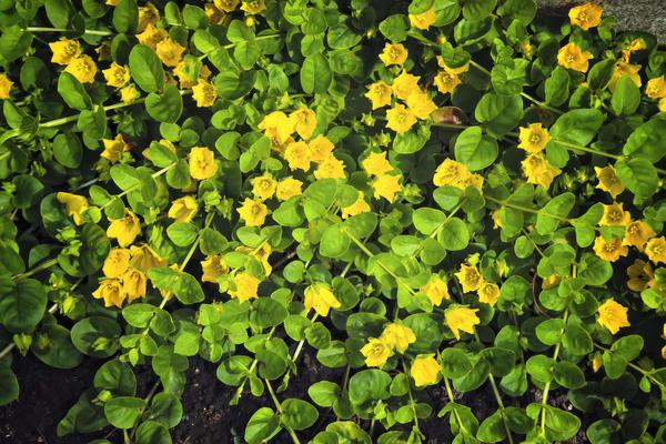 Вербейник монетчатый цветет обильно и долго