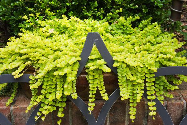 Вербейник монетчатый — универсальное растение