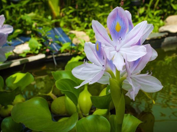 Эйхорния (водный гиацинт)