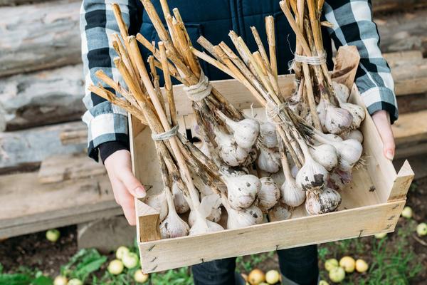 Как хранить лук и чеснок в домашних условиях: обзор популярных способов