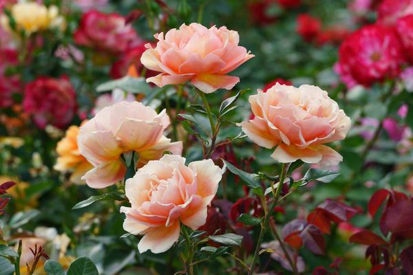 Любимые сорта роз можно размножить самостоятельно с помощью окулировки