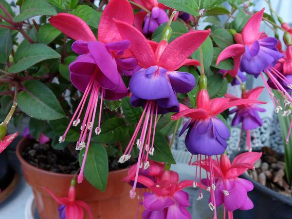 Фуксия — невероятно красивый комнатный цветок