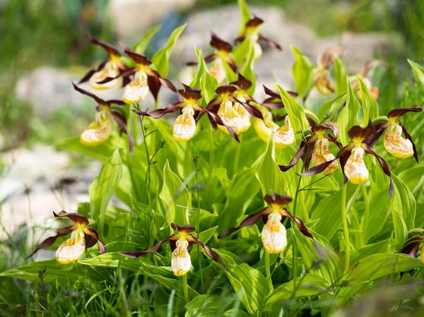 Венерин башмачок — одна из самых популярных садовых орхидей