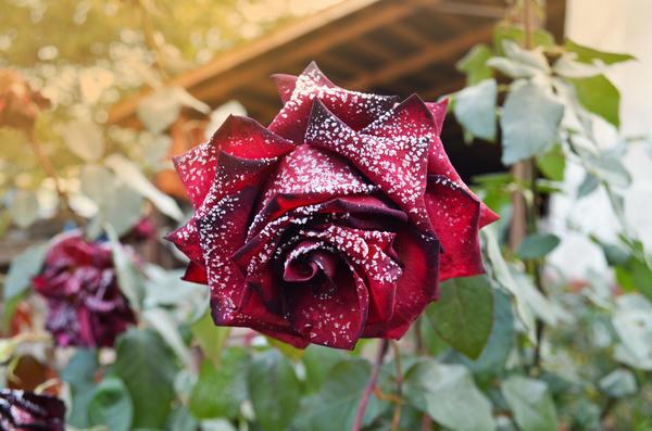 Как подготовить розы к зиме и укрыть их?