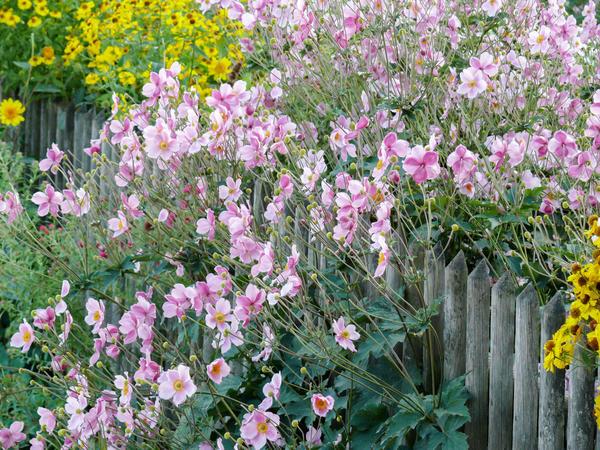 Красавица анемона японская может стать проблемой в саду